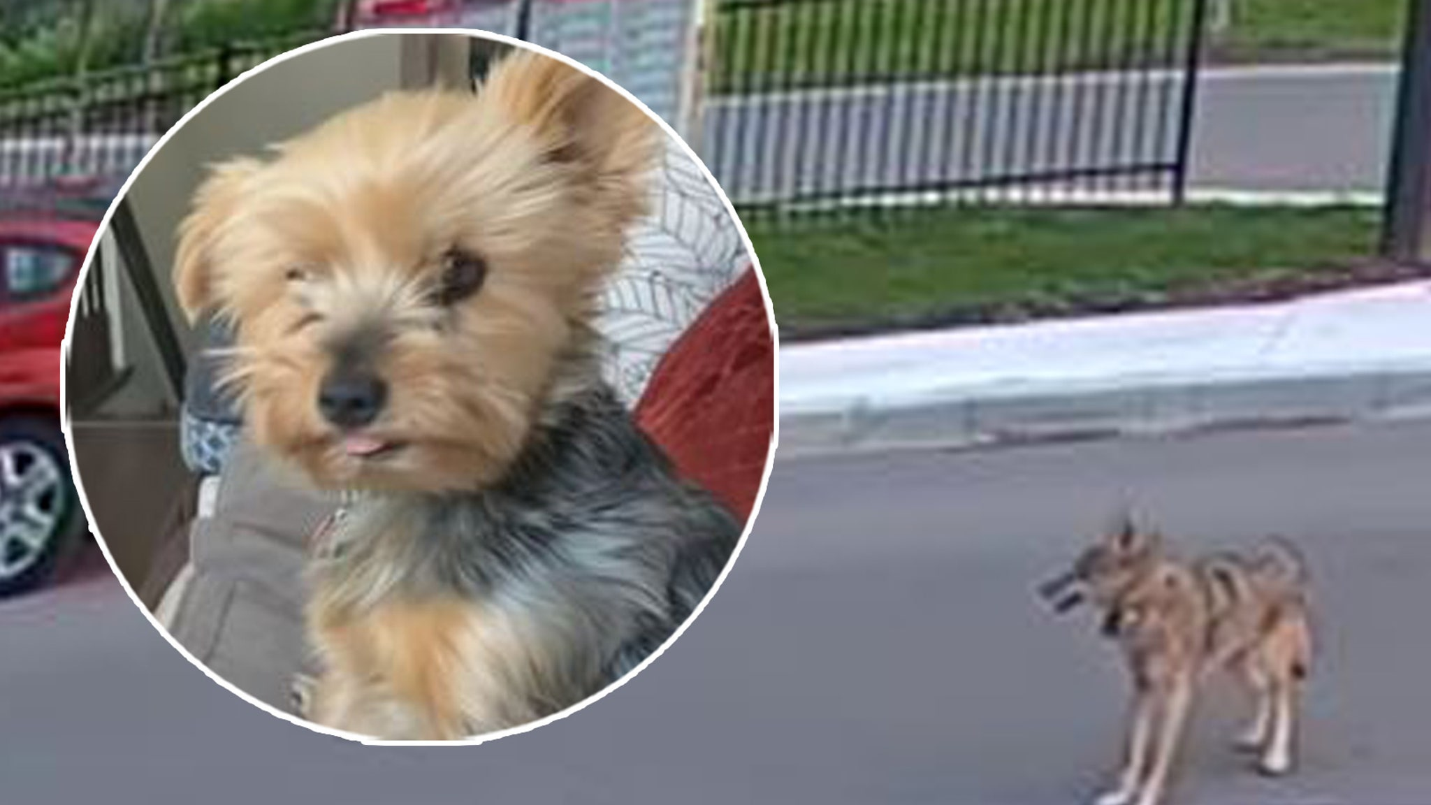 Yorkie hero saves girl from coyote attack
